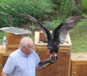 turkey vulture with wings spread out